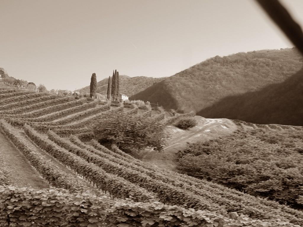 Cementifera-vigna